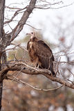 Vulture - Okavango Delta - Moremi N.P. Royalty Free Stock Photography
