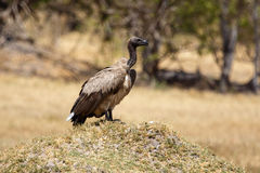 Vulture - Okavango Delta - Moremi N.P. Royalty Free Stock Images