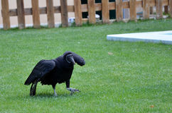 Vulture over the grass royalty free stock images