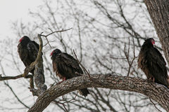 Vulture 12P Royalty Free Stock Photography
