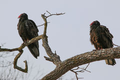 Vulture 11P Royalty Free Stock Photography