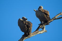 Vulture Pair. Vultures sitting high up on a branch Stock Images