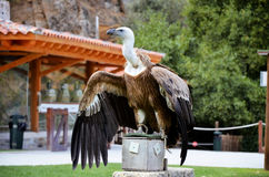 Vulture in the park royalty free stock photos