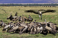 Vulture party, Masai Mara, Kenya Royalty Free Stock Photography