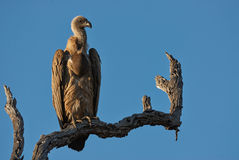 Vulture perched on a branch. In the Kruger National Park Royalty Free Stock Images