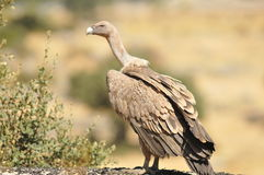 vulture perched on a rock Royalty Free Stock Images