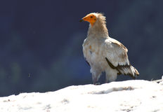 Vulture perched in snow Stock Photography