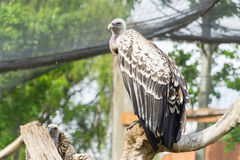 Vulture perched on a tree branch Stock Photo