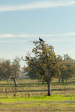 Vulture perched in a tree in Extremadura Stock Photos