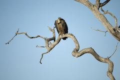 Vulture perched in tree in the Serengeti Stock Photography