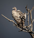 Vulture perched on tree in Serengeti, Tanzania Royalty Free Stock Photo