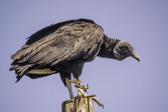 Vulture. Perched on a wood watching Stock Image