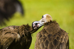 A vulture picking feathers with another vulture Stock Image
