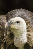 Vulture Portrait Royalty Free Stock Photography