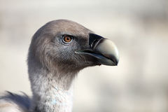 Vulture portrait Royalty Free Stock Photos