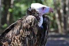 Vulture portrait Stock Image