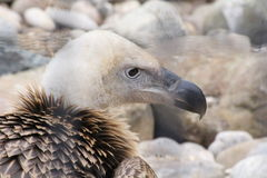 Vulture. A vulture portrait looking onto rocks Stock Photos