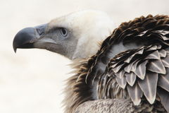 Vulture. A vulture portrait looking out Stock Photos