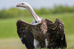 Free Vulture Portrait. Ruppell`s Griffon Vulture Bird Of Prey Scaveng Royalty Free Stock Image - 95526136