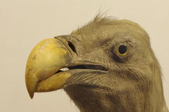 Vulture portrait taxidermy Royalty Free Stock Image