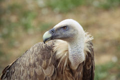 Vulture profile Stock Photos
