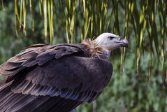 Vulture protrait Stock Photo