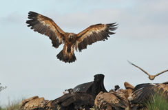 Vulture reaches the group with open wings Stock Image