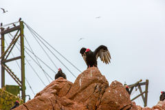 Vulture red neck birds in Ballestas Islands.Peru.South America. National park Paracas. Stock Images