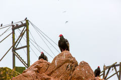 Vulture red neck birds in Ballestas Islands.Peru.South America. National park Paracas. Royalty Free Stock Photos