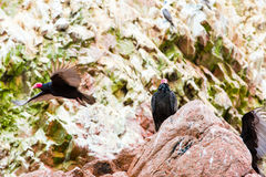 Vulture red neck birds in Ballestas Islands.Peru.South America. National park Paracas. Royalty Free Stock Images