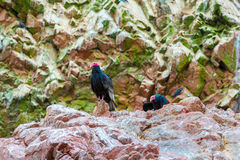 Vulture red neck birds in Ballestas Islands.Peru.South America. National park Paracas. Royalty Free Stock Photography