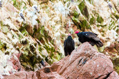 Vulture red neck birds in Ballestas Islands.Peru.South America. National park Paracas. Stock Photography