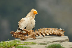 Vulture with the rest of a carcass royalty free stock photo