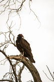 Vulture roosting for the night. Royalty Free Stock Photo