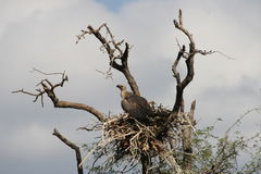 Vulture's nest. A Vulture in its nest. THe picture was taken in the Kruger National Park royalty free stock image
