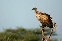 Vulture - Serengeti, Tanzania, Africa