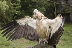 Vulture shooting Stock Photography