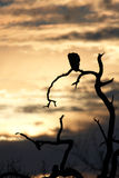 Vulture silhouette Royalty Free Stock Images