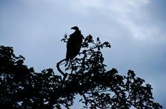 Vulture Silhouette Stock Photo