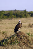 Vulture sitting on a hill in the African savannah Royalty Free Stock Photos