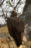 Vulture is sitting on the rock. The cinereous vulture is sitting on the rock in Kyiv zoo royalty free stock image