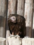Vulture on a wooden pole stock image