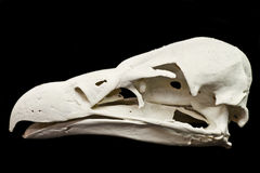 Vulture skull Royalty Free Stock Photo