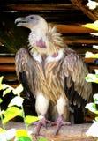 Vulture with Slightly Opened Beak Stock Photo