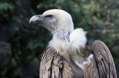 Vulture of snow Royalty Free Stock Images