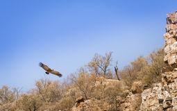 Vulture Soaring Stock Photography