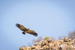 Vulture Soaring Royalty Free Stock Photos