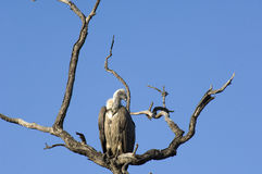 Vulture in South Africa. Vulture on branches in South Africa Stock Images