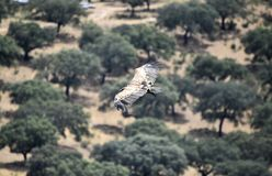 Vulture in spain flying in the sky stock photography