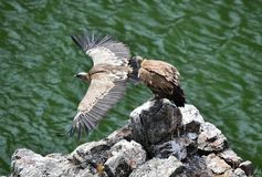 Vulture in spain flying in the sky stock photos